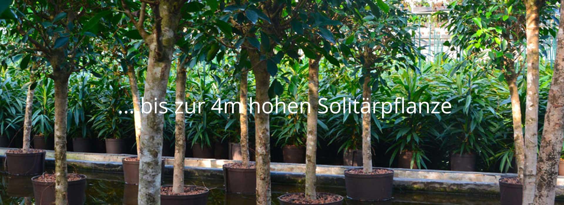 ... bis zur 4m hohen Solitärpflanze