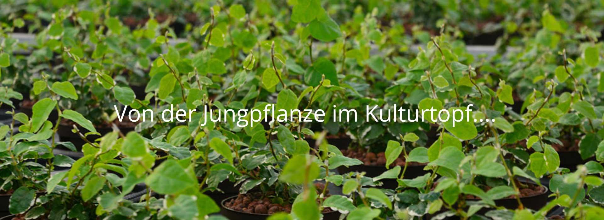 Von der Jungpflanze im Kulturtopf ...