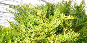 Erdpflanze Immergruene Taxus baccata Eibe