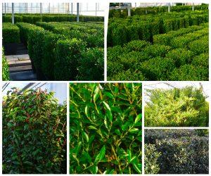 Prunus l. angustifolia, Ilex convexa, Ilex crenata 'Blondie', Taxus baccata, Ilex crenata 'dark star